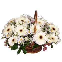 40 white gerberas in a vase